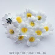 Головки цветов ромашки белые.